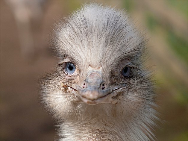 Ridiculously Photogenic Ostrich