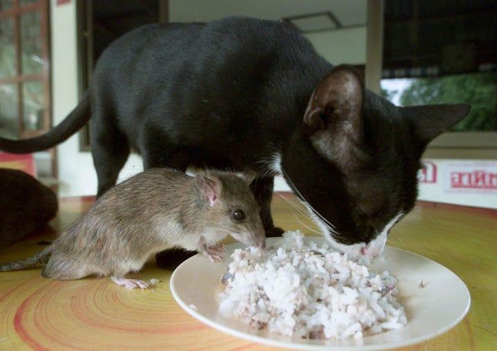 кошка и мышь