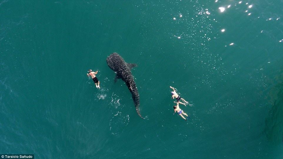 Three swimmers had a once-in-a-lifetime experience exploring the ocean alongside a spotted whale shark and @postandfly was there to capture it from above