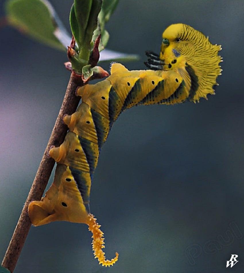 A Budgiepillar