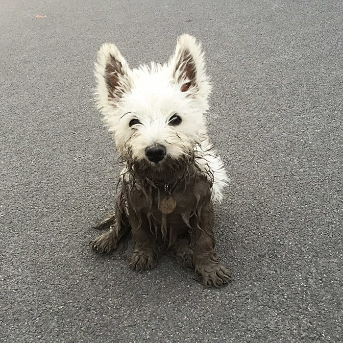The White Dog Finds The Deepest Muddiest Puddle She Can Find And Walks Straight In!