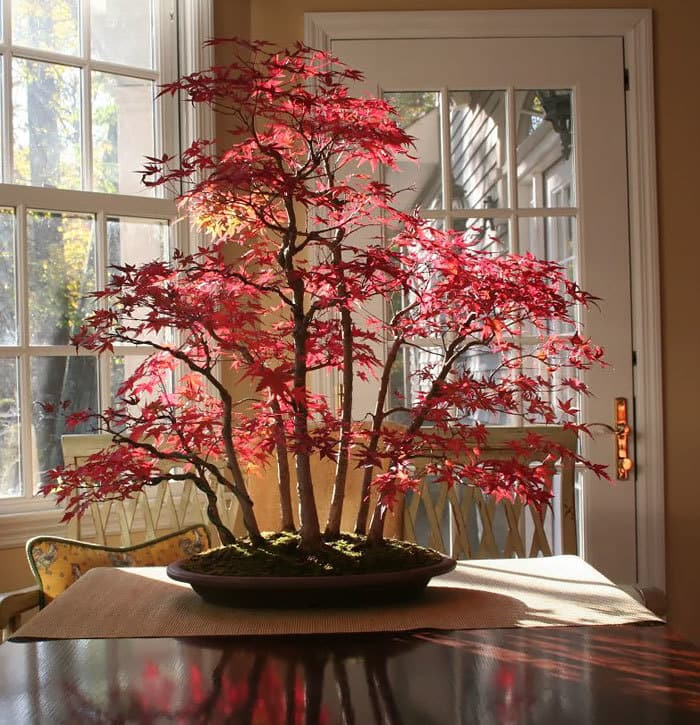 Bonsai Maple Forest In Autumn