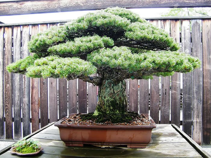 This 390 Year-old Bonsai Tree Survived Hiroshima