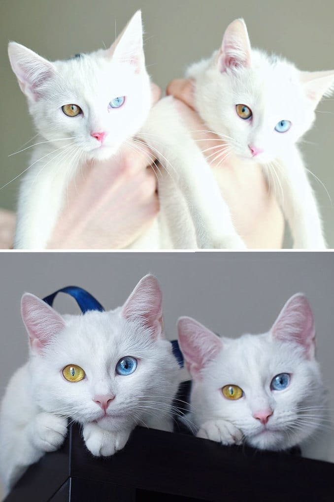 The Most Beautiful Twin Cats Growing Up