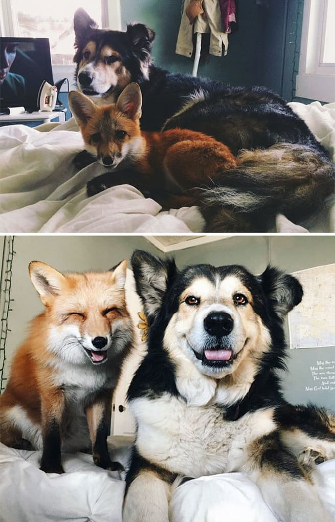Juniper The Fox And Moose Are Best Friends From The Day They Met Till Now
