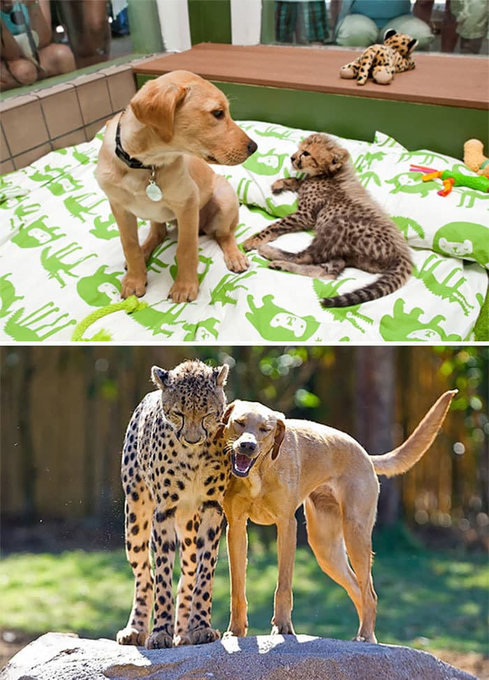 Kasi The Cheetah And Mtani The Labrador Best Friends Ever