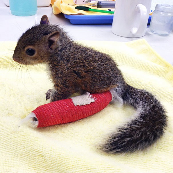 Это бедный ребенок Белка выпал из дерева, и должен был получить Крошечные наложенные на его ноге. Он преуспевает