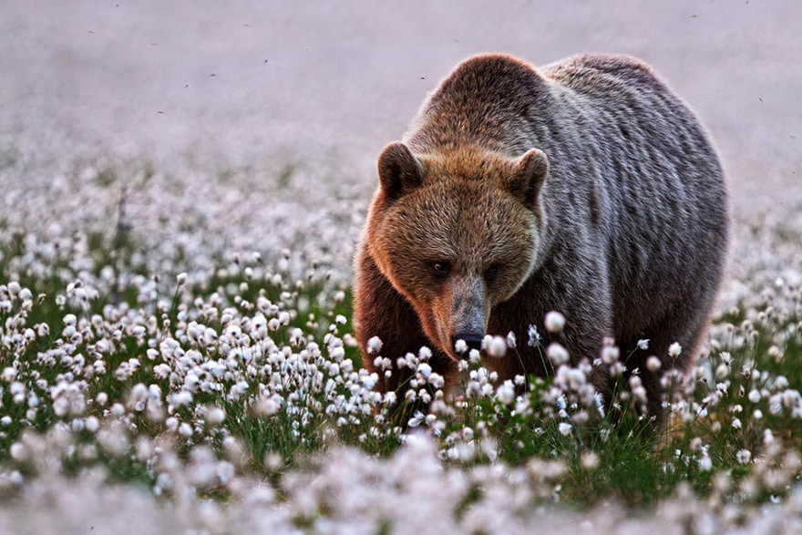 Bear Among The Cotton Flowers