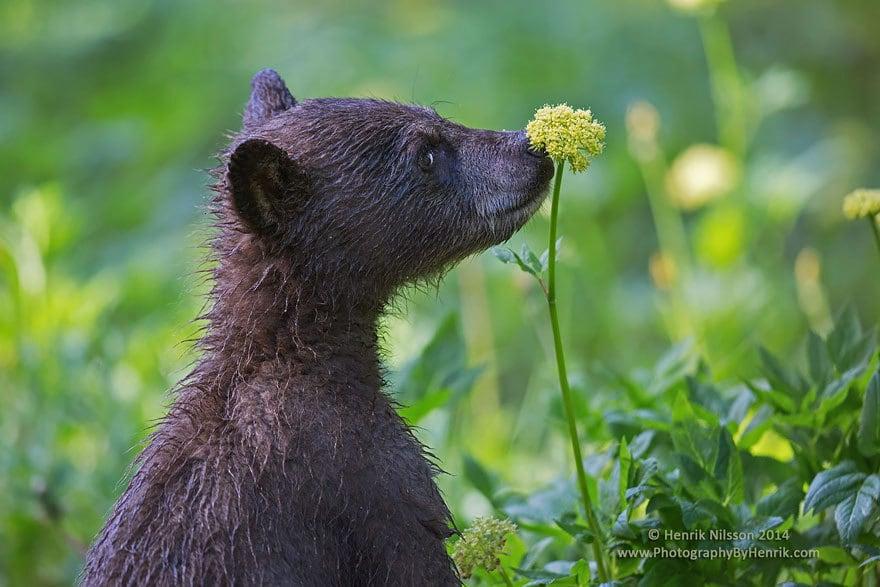 Bear Smelling Flowers
