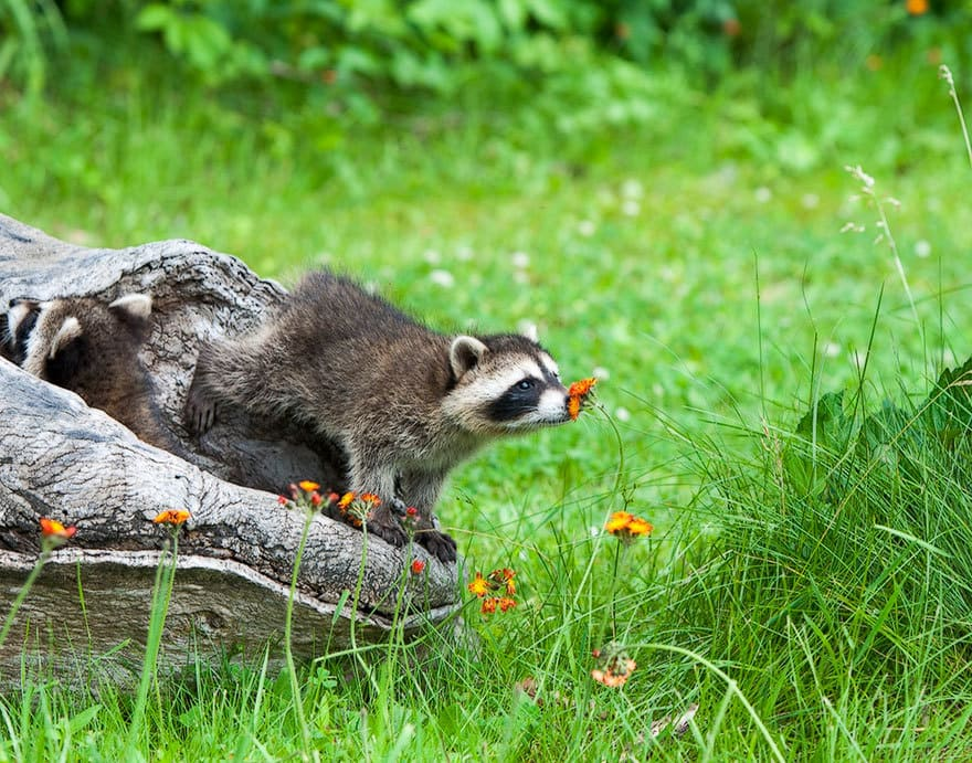 Badger Smelling A Flower