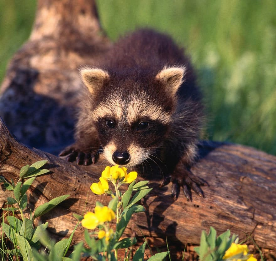 Young Raccoon Sniffing Flower