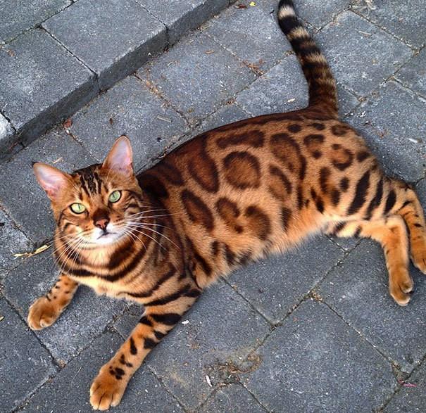 Бенгальский кот-спотов-фур-Thor-15