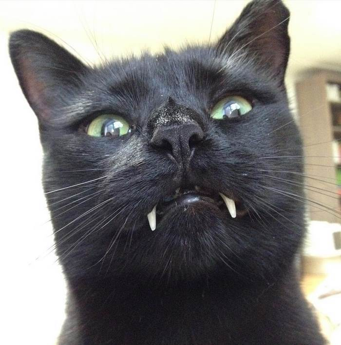 black-cat-vampire-teeth-monkey-18