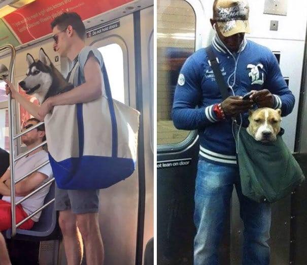 Система Метро Нью-Йорк Баны клыков, если они не могут поместиться в небольшой сумке, так что эти ребята следовали правилам