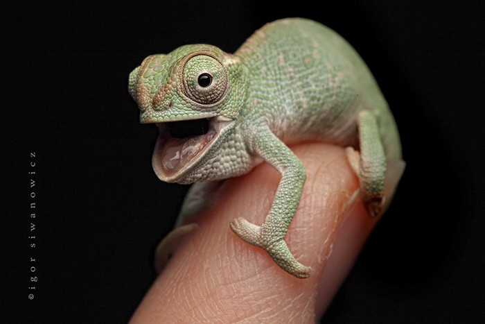 Excited Baby Chameleon