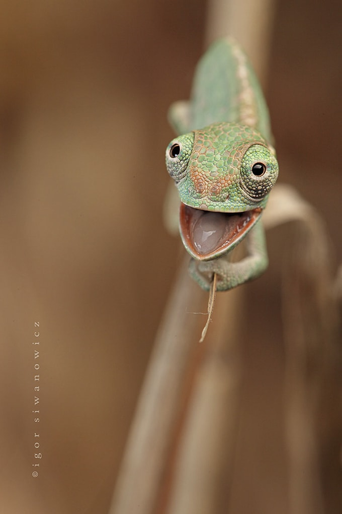 Happy Baby Chameleon