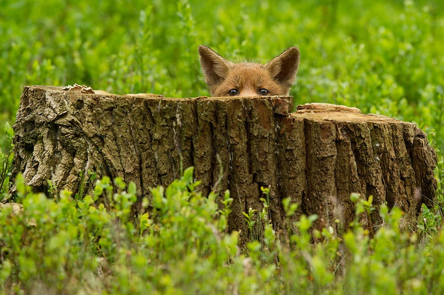 A Young Fox Cub First Day Out