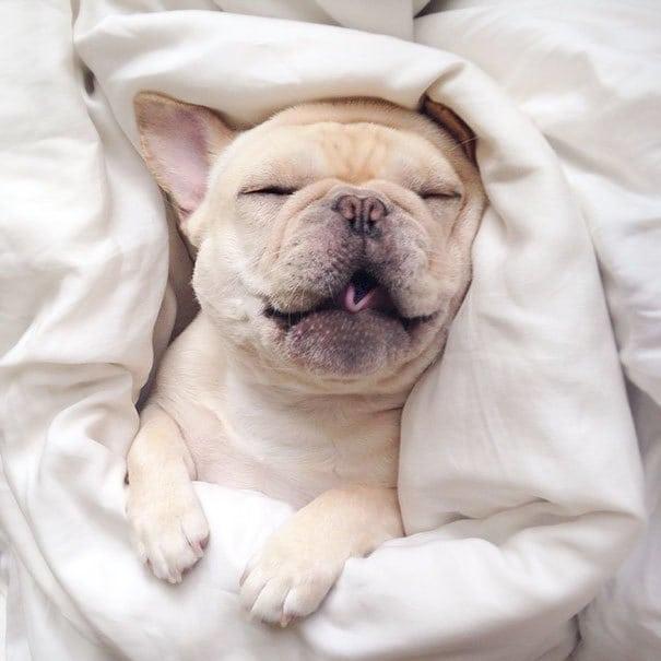 мило-бульдога улыбающаяся-спальный собачьих нарколепсией-frenchiebutt-Милло-23