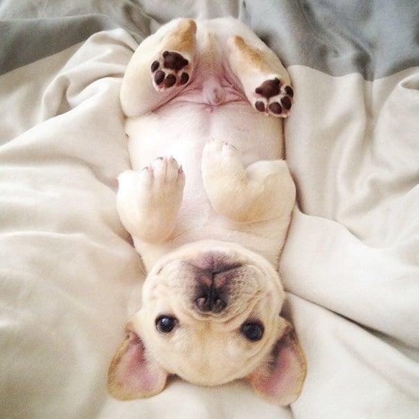мило-бульдога улыбающаяся-спальный собачьих нарколепсией-frenchiebutt-Милло-31