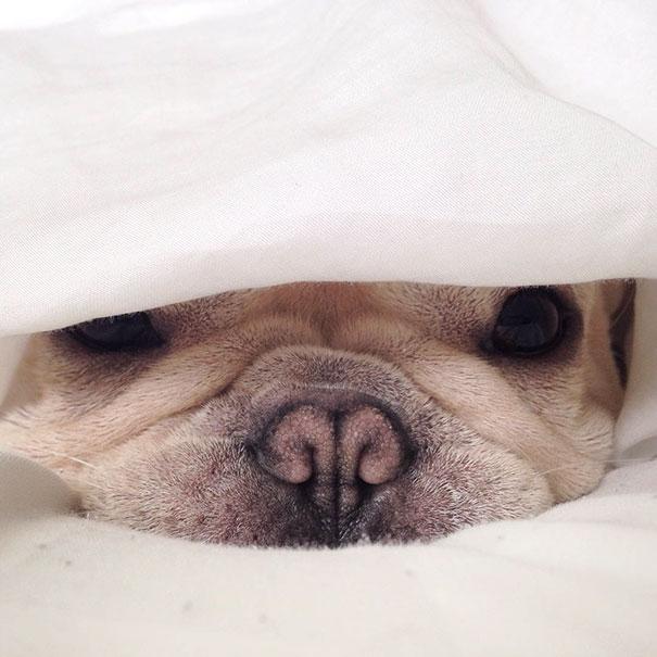 мило-бульдога улыбающаяся-спальный собачьих нарколепсией-frenchiebutt-Милло-5
