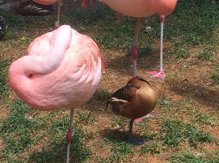 Pretending Ducks