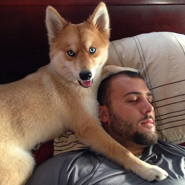 fox-dog-pomeranian-husky-mya-the-pomsky-8