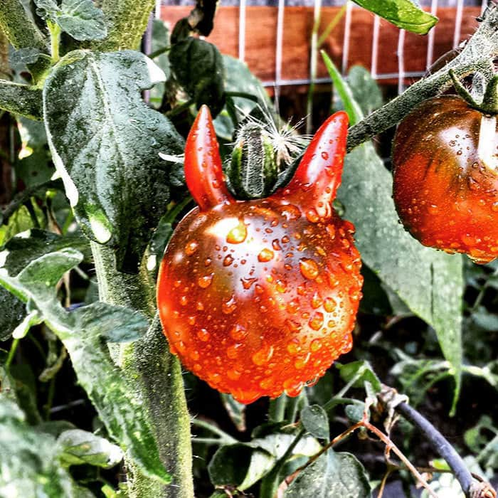 A Tomato Fit For Satan Himself
