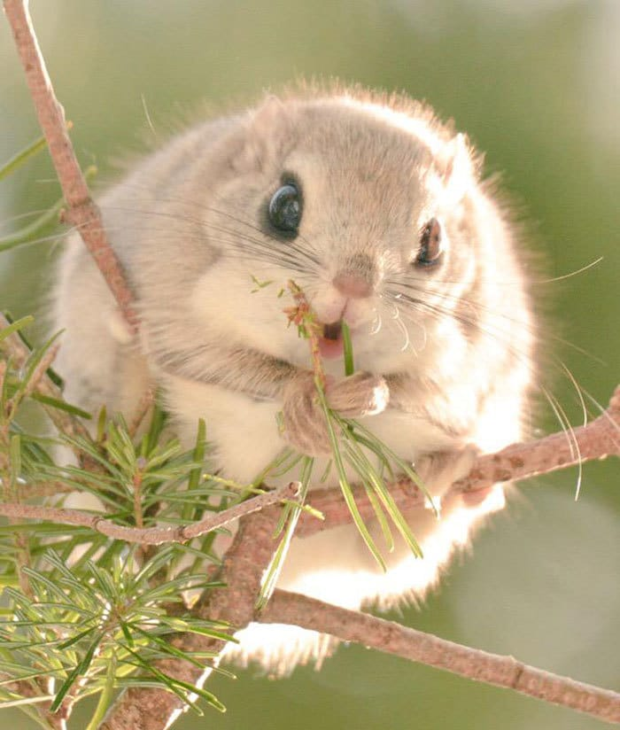 Round Japanese Flying Squirrel