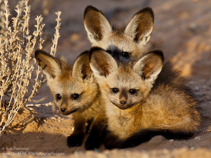 African Bat-Eared Foxes
