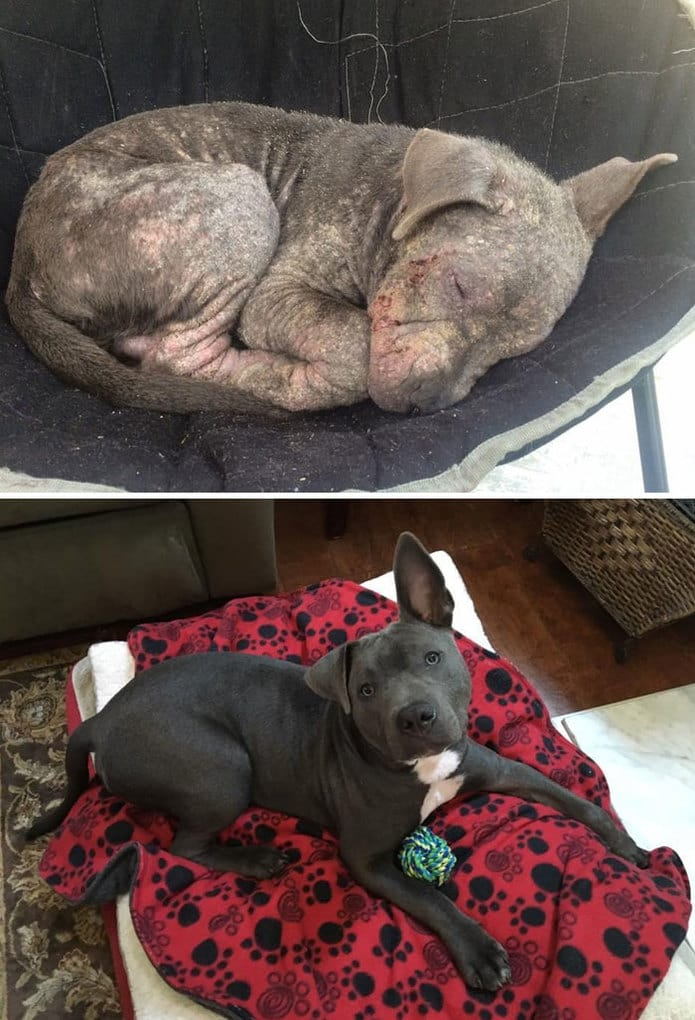 Tied Up Outside Store, Abandoned, Suffering From Severe Mange And An Eye Infection, This Pitbull Is Unrecognizable Now