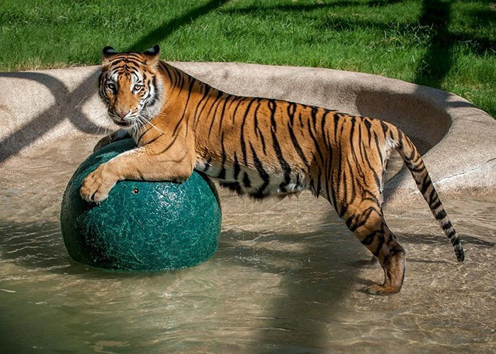 спасательно-тигр-утилизатора цирк-Aasha-5