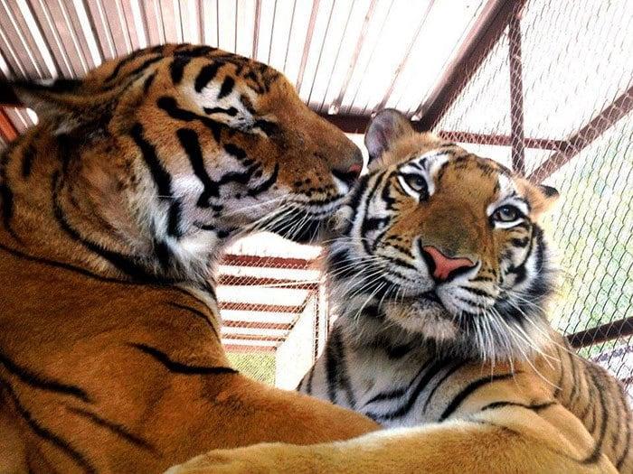 спасательно-тигр-утилизатора цирк-Aasha-8