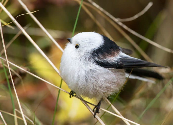 Nearly Perfectly Round Long-Tailed Tit