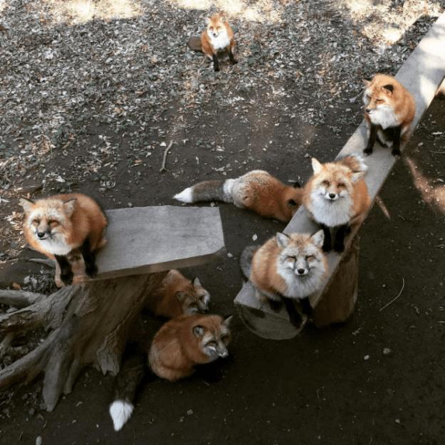 Zao Fox Village, Japan