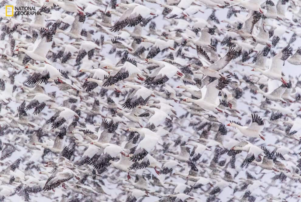 Thousands of snow geese flying in Bosque del Apache, New Mexico.
