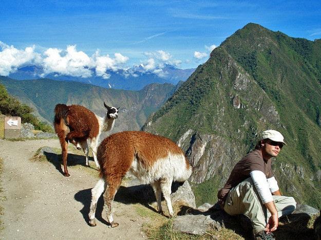 Llamas and Alpacas at Machu Picchu, Peru
