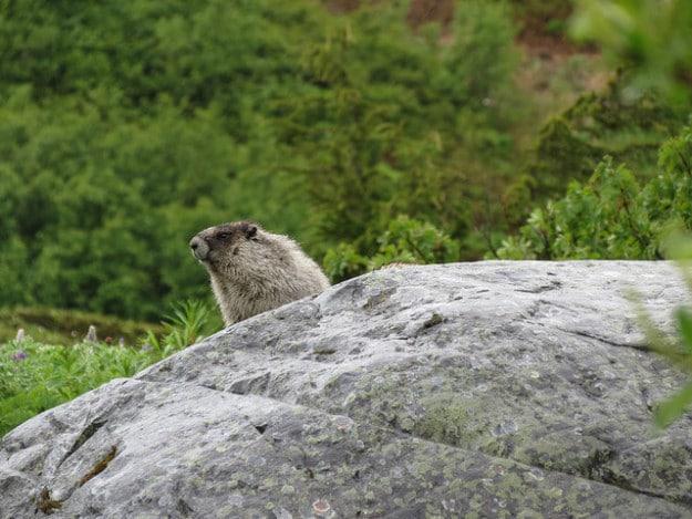 Marmots at Glacier National Park, Washington