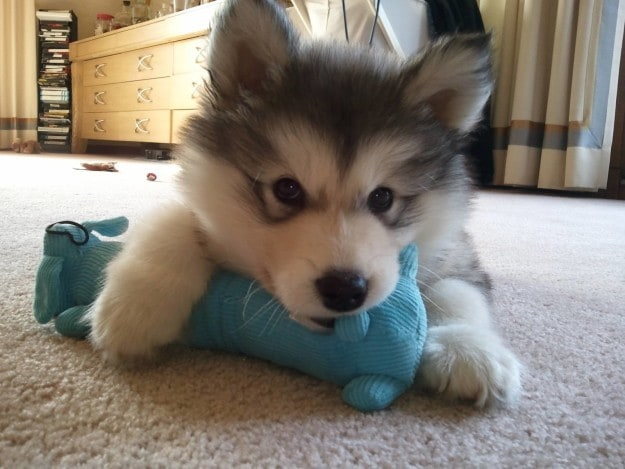 The fluffy Malamute who think his toy is very malacute.