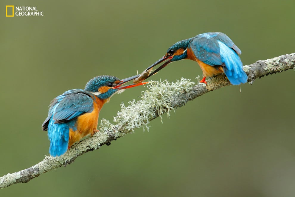 A pair of Kingfisher birds exchanging an engagement present.