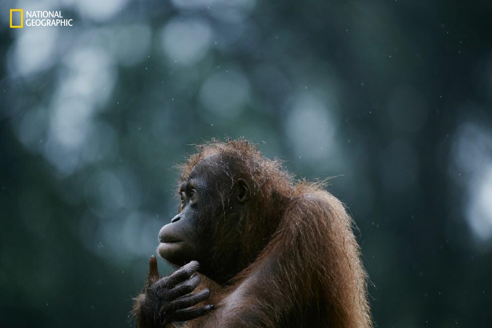 An orphaned orangutan on the island of Borneo.