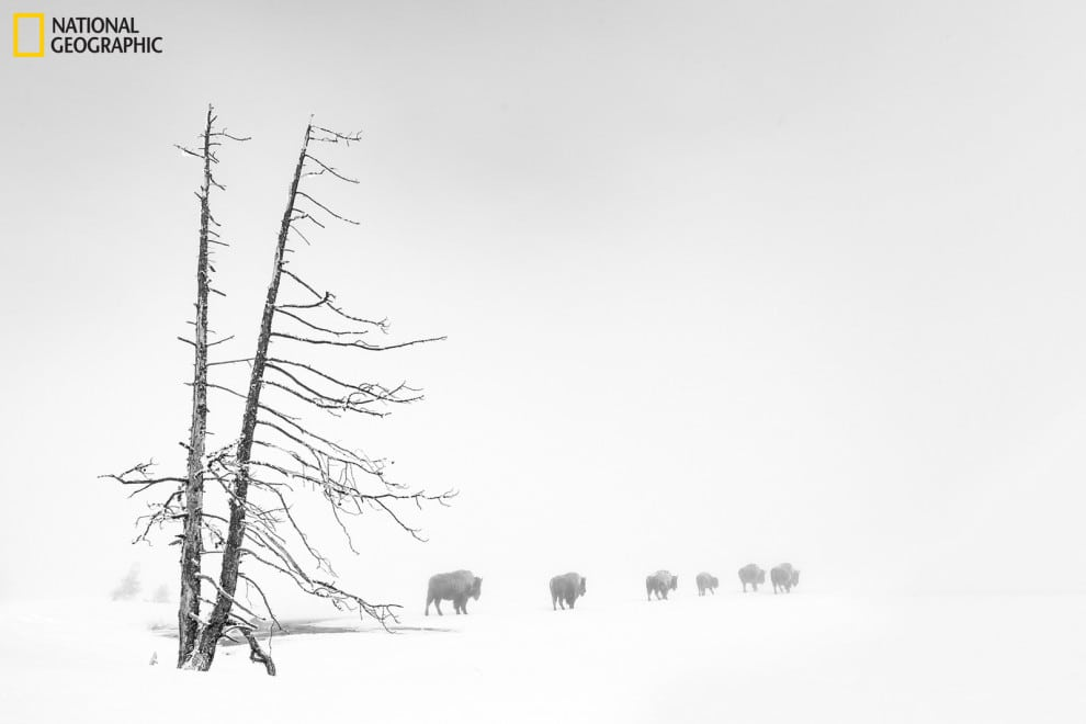 Buffalo in a thick fog in Yellowstone.