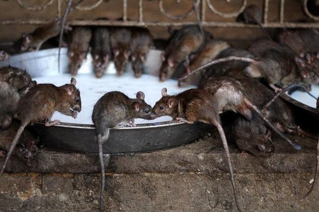 Rats at Karni Mata Temple, India