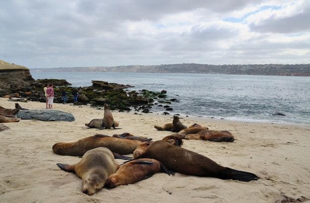 Seals and Sea Lions at La Jolla Cove, California