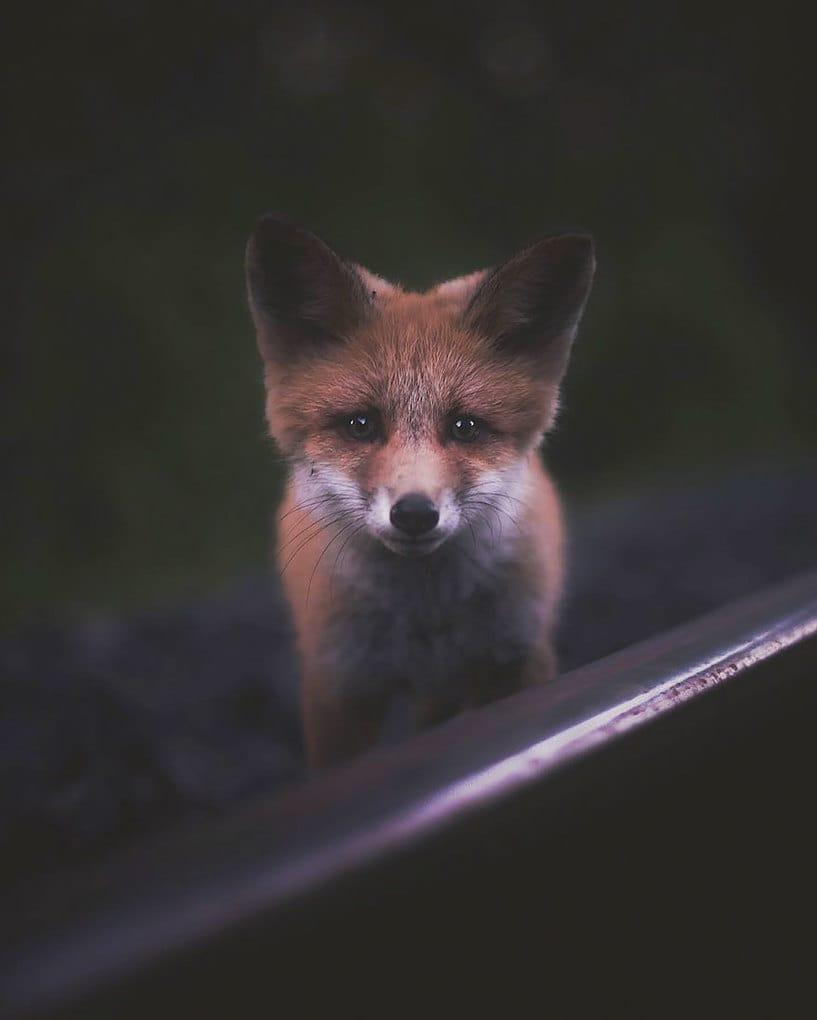 дикого животного-Photography-Konsta-punkka-1