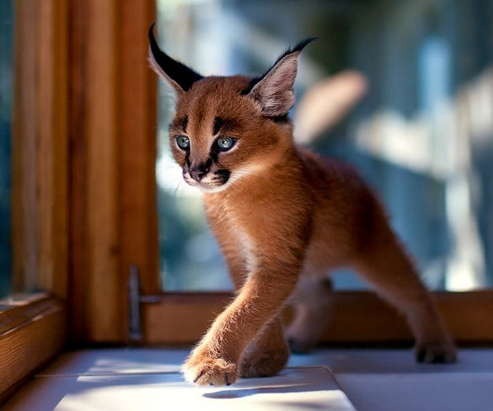 This Little Caracal