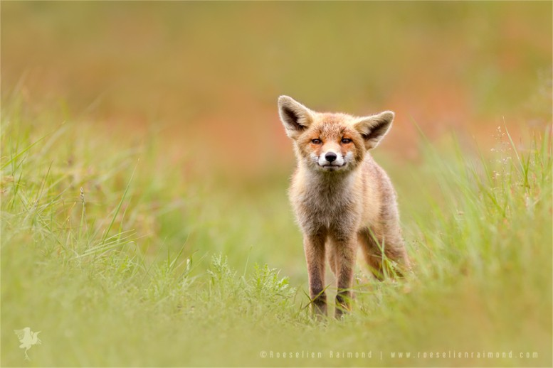 fox_kit_grass1