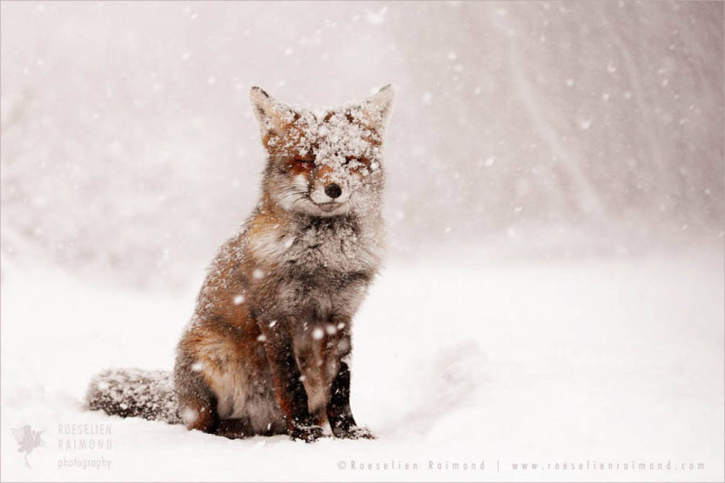 fox_snow11
