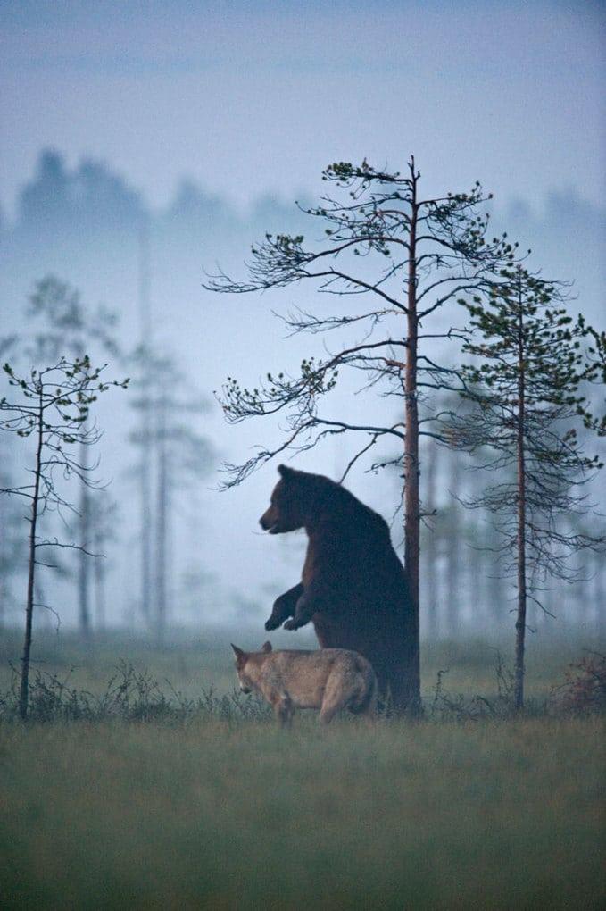 rare-animal-friendship-gray-wolf-brown-bear-lassi-rautiainen-finland-13