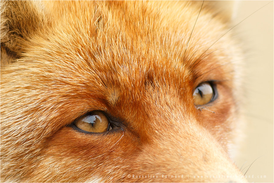 red_fox_eyes