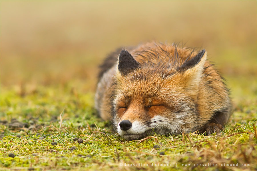 red_fox_sleeping
